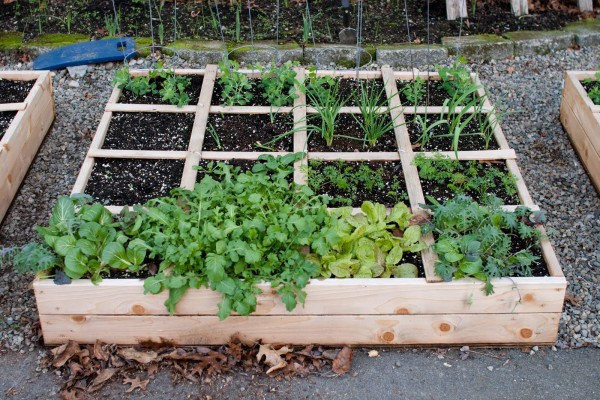 One of my three raised beds on December 6th containing Garlic, Shallots and Greens.