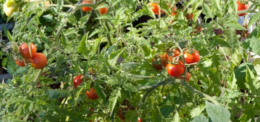 A seething mass of indeterminate tomato plants overwhelming their cages. (September 28, 2008)