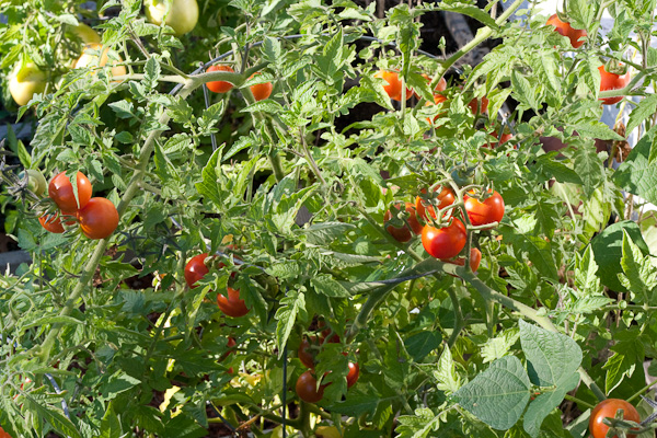 What are determinant tomatoes and indeterminate tomatoes Details inside